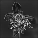 graphisme-dahlia-marie-colette-becker-07