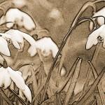 graphisme-perce-neige-marie-colette-becker-09