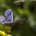 naturaliste-demi-argus-2015-marie-colette-becker-03