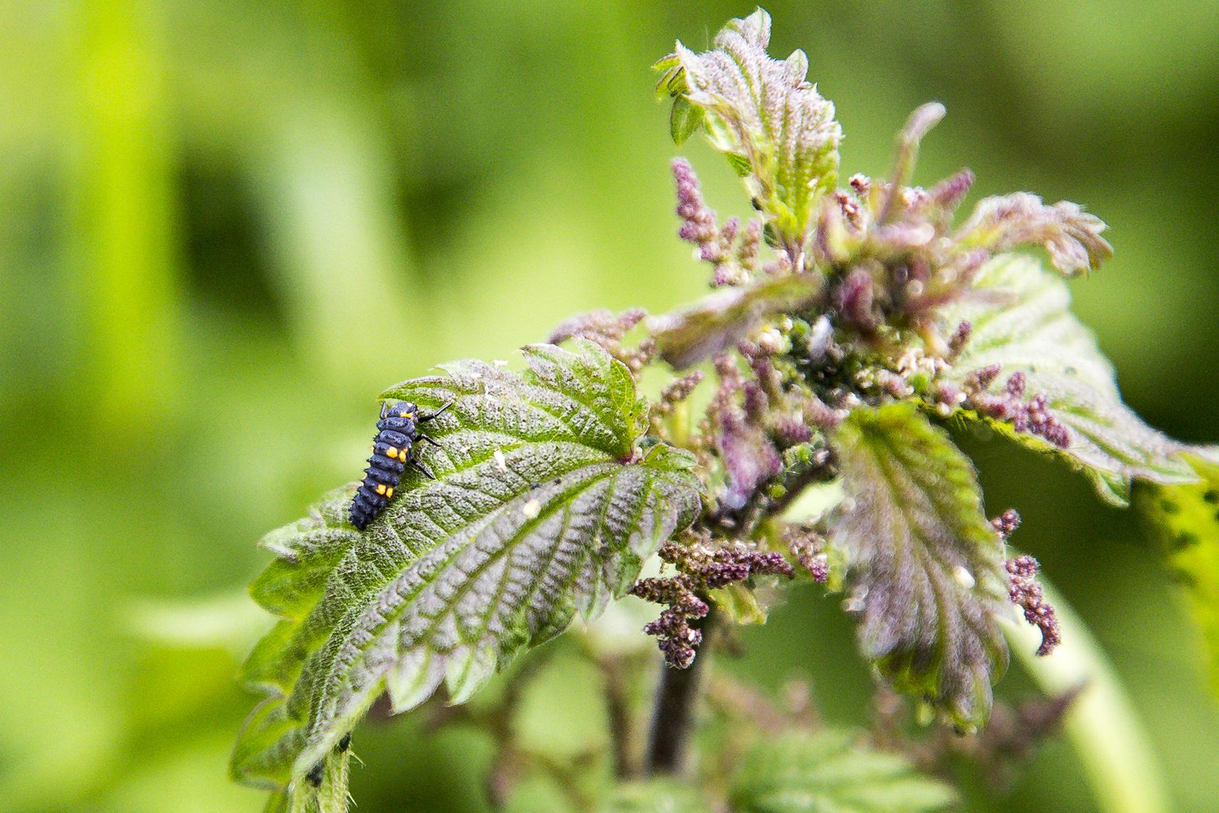 naturaliste-larve-libellules-2015-marie-colette-becker-06