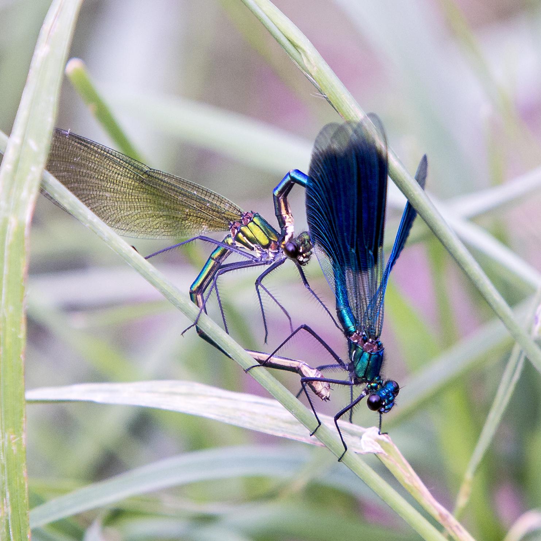 naturaliste-libellules-2015-marie-colette-becker-07