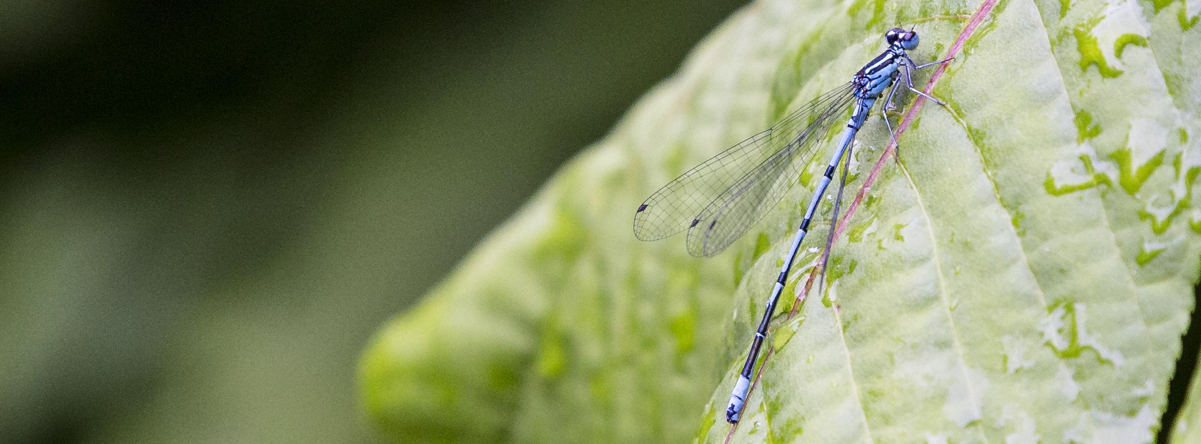 naturaliste-libellules-2015-marie-colette-becker-08